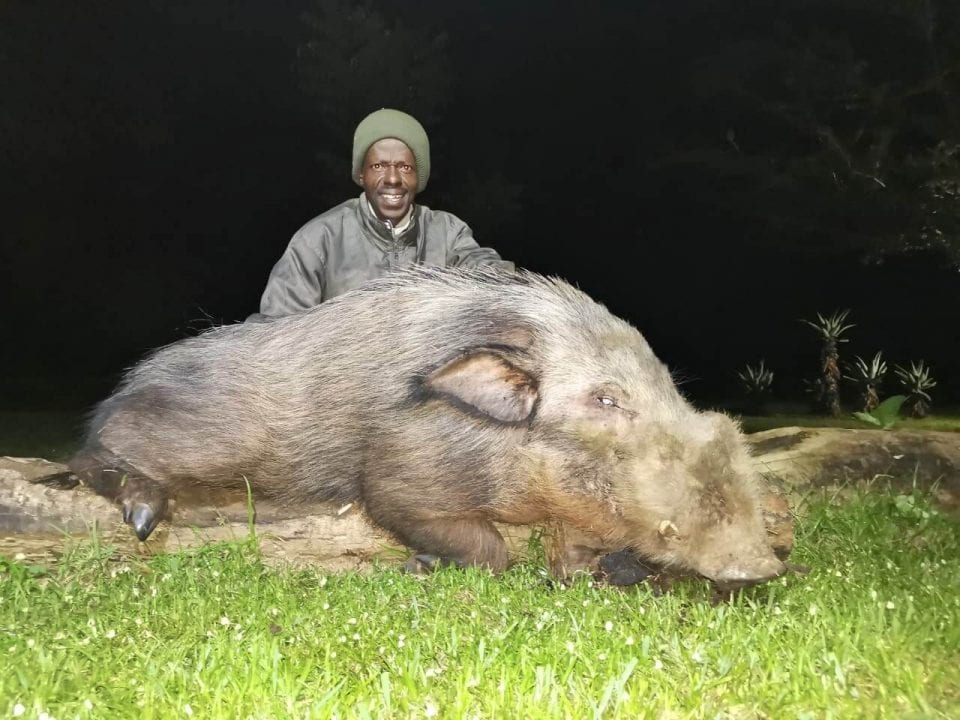 Successful Bushpig Hunt in the Umkomaas Valley