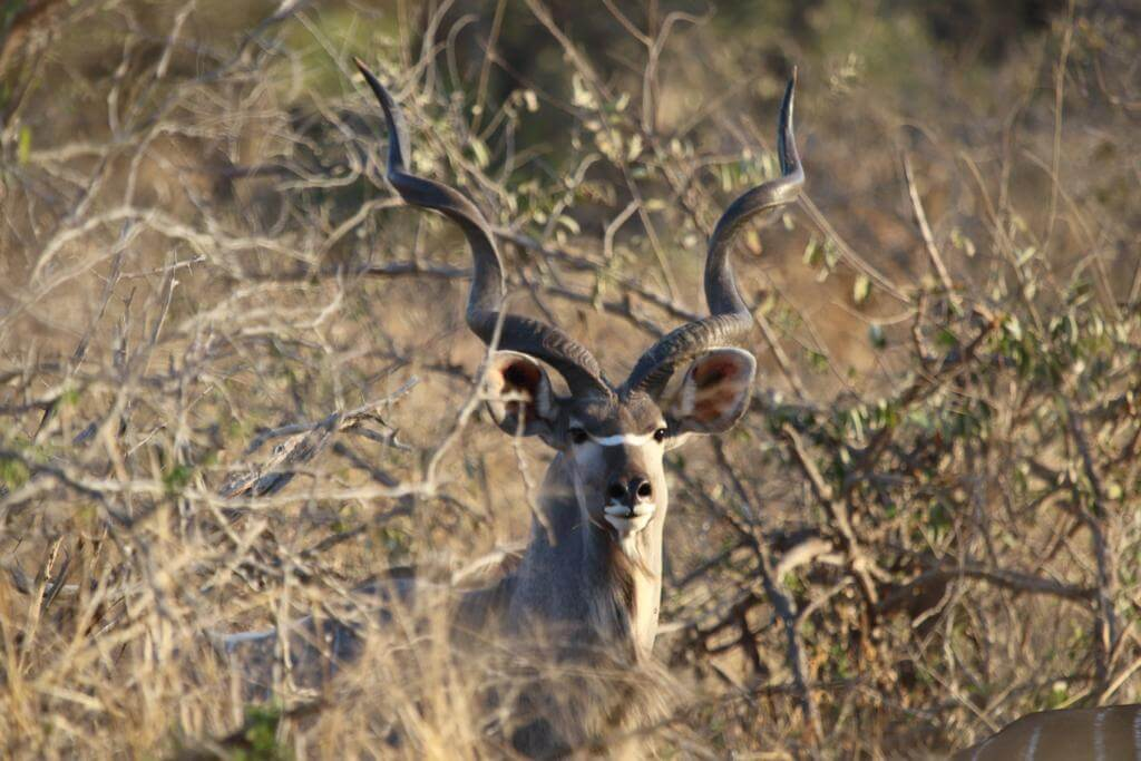 Large Kudu Male in the Baviaans